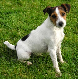 jack-russell-terrier-0_254