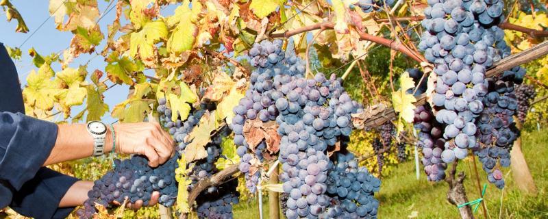 Azienda Agricola Maria Reda:Produzione Vini nel Biellese