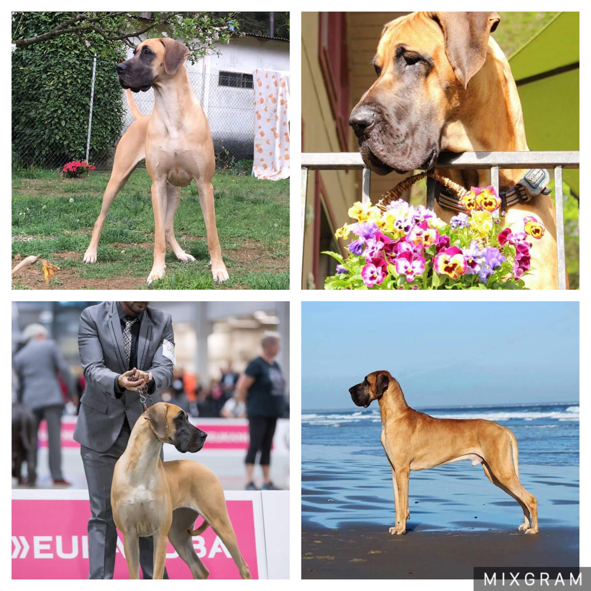 i cuccioli in vendita di ALANI DI CASTELCAMPO