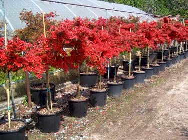 Allestimento di aiuole fiorite a quiliano for Alberi piccoli da giardino