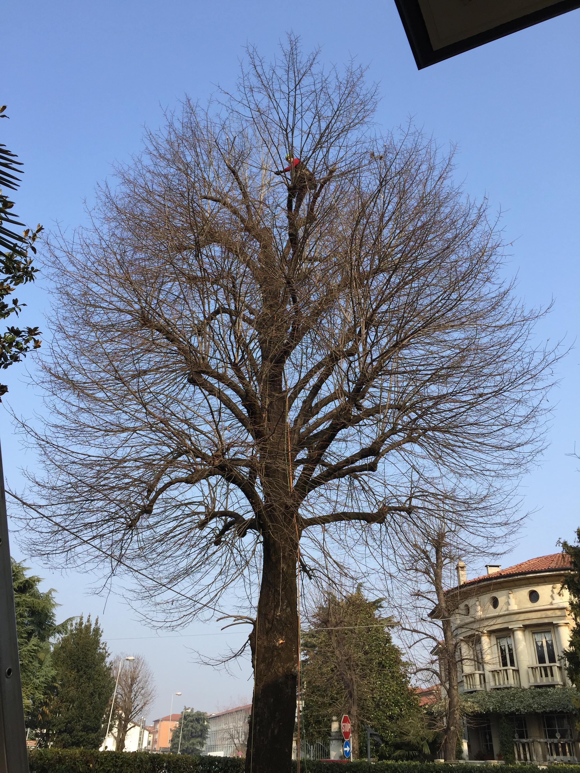 Potature in tree climbing Prima