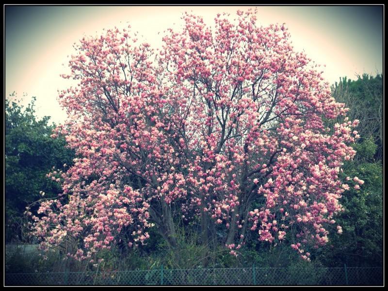 Magnolia soulangeana,Albissola Sv.
