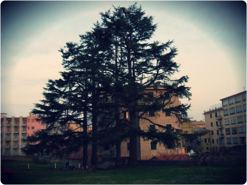 Cedrus deodara,Villa faraggiana-Albissola Sv.