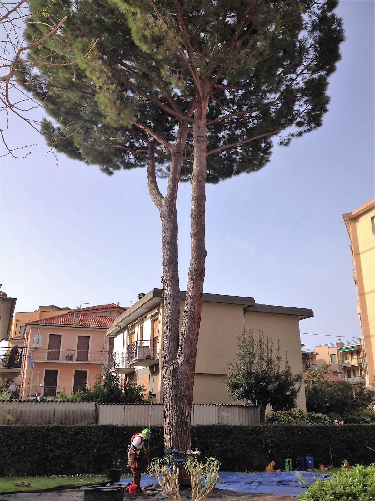 Pinus pinea Borgio Verezzi