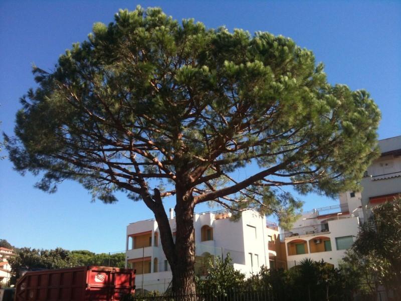 Pinus pinea,Pietra ligure Sv.