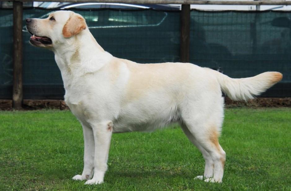 CIE Flies The Bandwa Labradors TDF Bea (Bea)