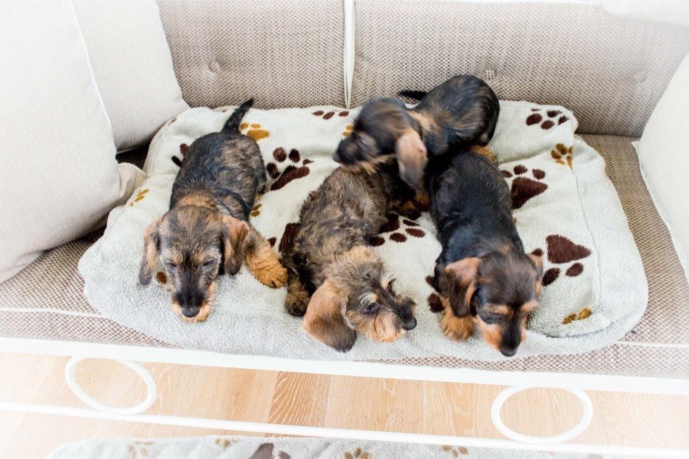 Nuove cucciolate di Bassotti