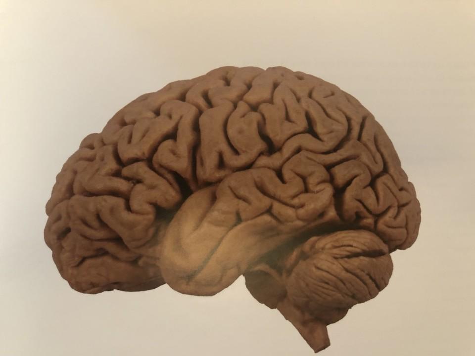 Sua Maestà, il Cervello.