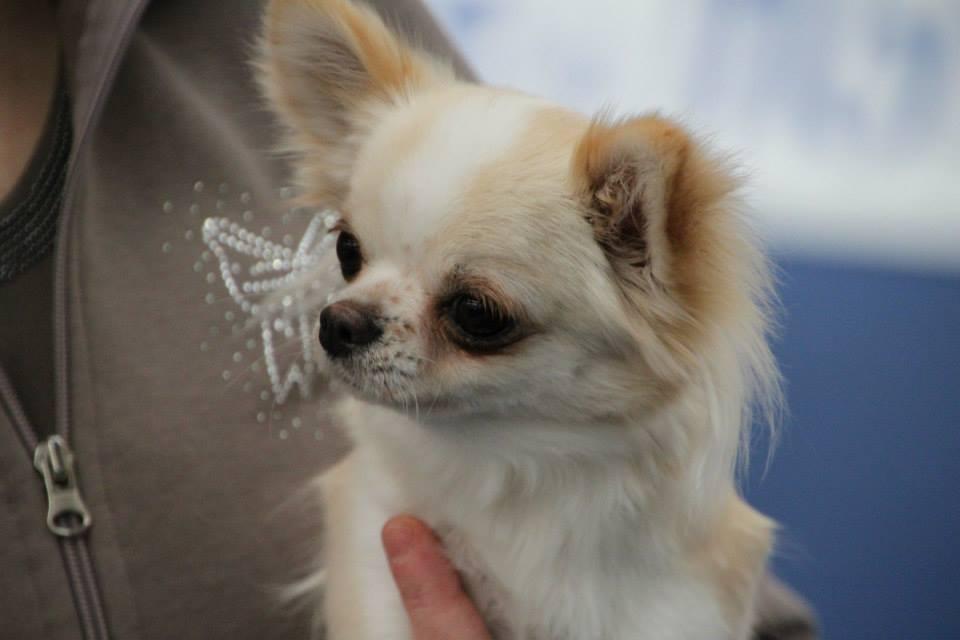 Allevamento Chihuahua Alessandria