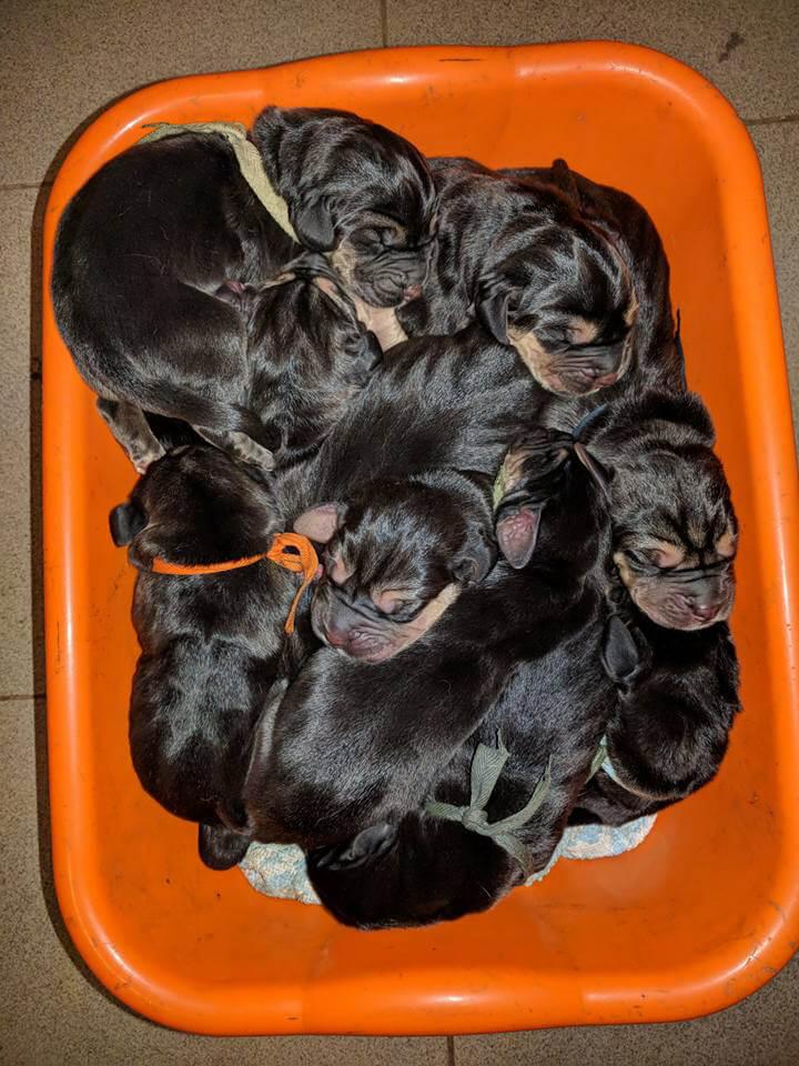 i cuccioli in vendita di IL FIUTO DEI LAGHI BLOODHOUND