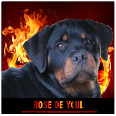 Rose De Ycul - Rottweiler Kennel Cuori Impavidi