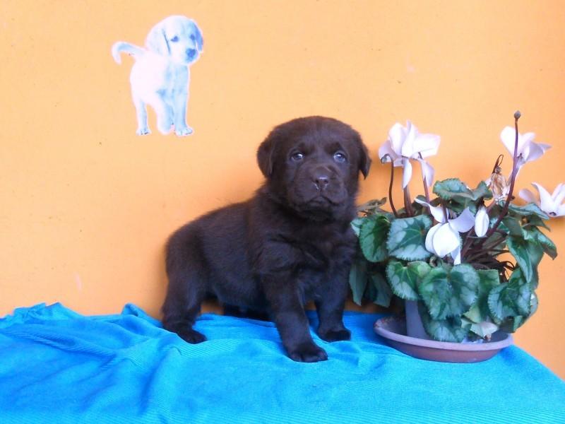 Cuccioli Labradorsezione