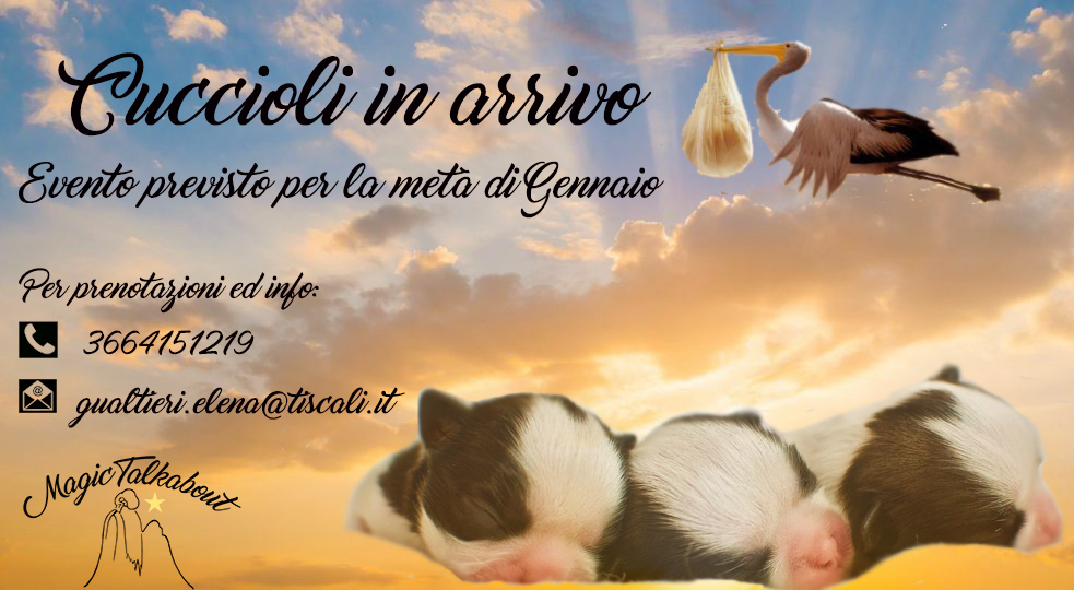 Allevamento shih tzu a Prato. Chiama MAGIC TALKABOUT tel 0574 053096 cell 366 4151219