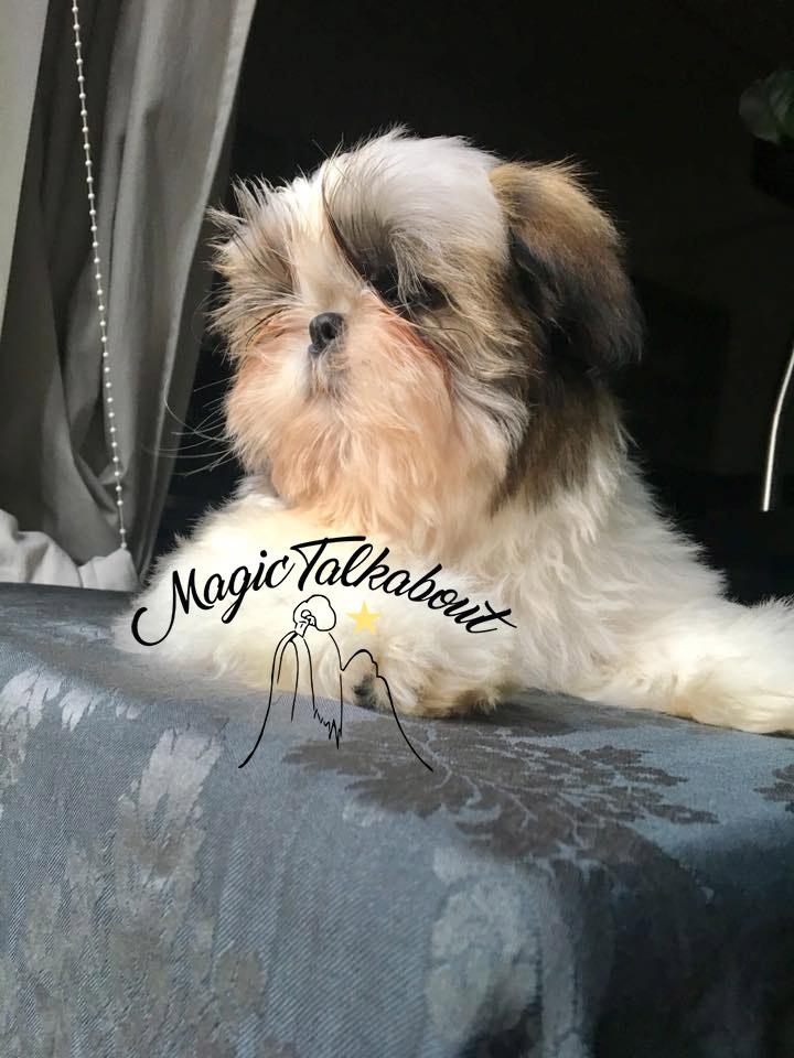 cucciolo shihtzu disponibile