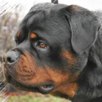 Rottweiler a Rondissone. Rivolgiti a PER UN PELO - ROTTWEILER cell 380 3057447