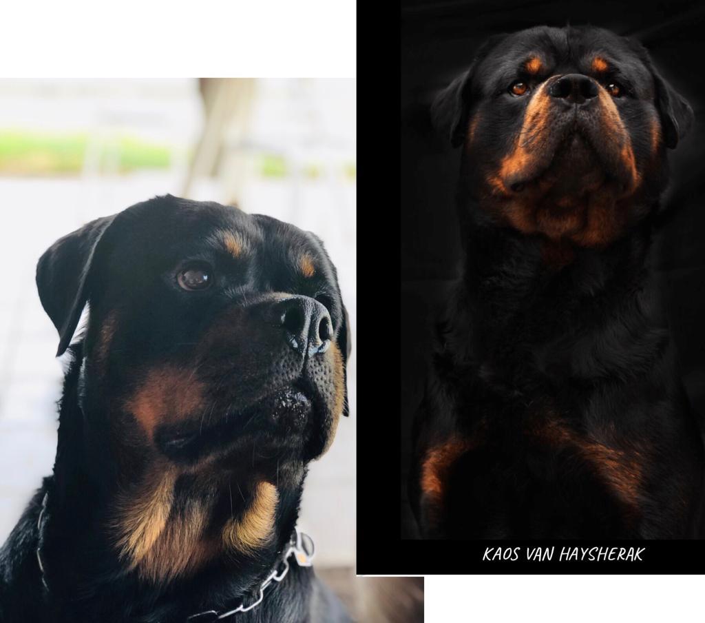i cuccioli in vendita di ALLEVAMENTO ROTTWEILER - PER UN PELO