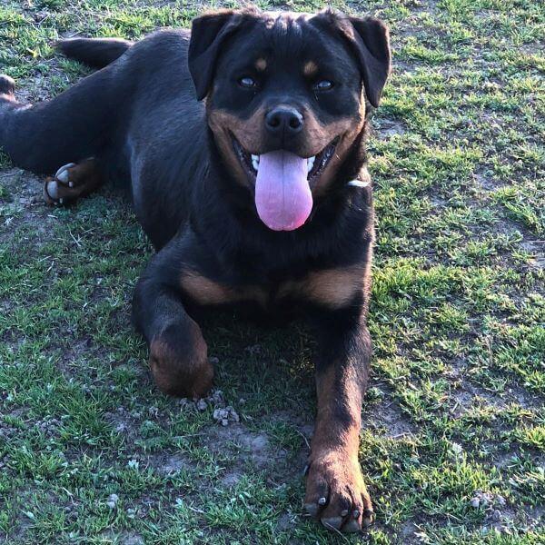 Samoa, Rottweiler 6 mesi a torino
