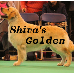 Allevamento Golden Retriever a Roma. Rivolgiti a SHIVA'S GOLDEN cell 3382906264