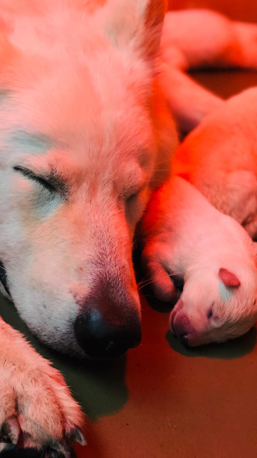 i cuccioli in vendita di ALLEVAMENTO VOM FRIAULER ZAR